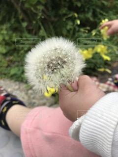 たんぽぽのわたげの写真・画像素材[2075106]