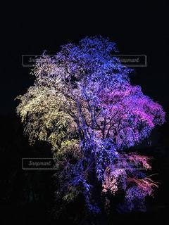 桜の前に紫色の光の写真・画像素材[1873575]