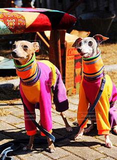 彩りな犬の写真・画像素材[1829317]