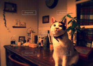 キッチン カウンターの上に座って猫の写真・画像素材[1862544]