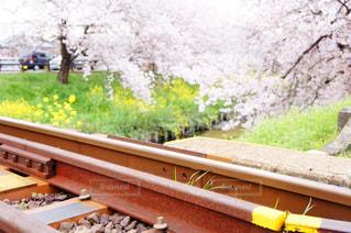 大和高田千本桜の写真・画像素材[1797282]