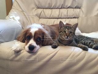 ソファーでくつろぐ 犬と猫の写真・画像素材[1794584]