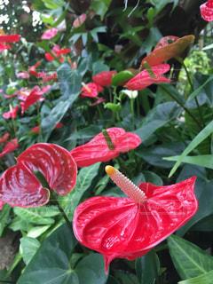 植物の赤いアンスリウムの写真・画像素材[1796150]