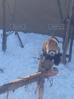 レッサーパンダの写真・画像素材[1797902]