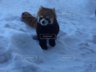 雪の中を歩くレッサーパンダの写真・画像素材[1797903]