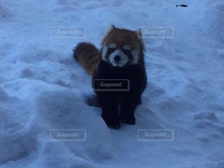 雪の中を遊ぶレッサーパンダの写真・画像素材[1797904]