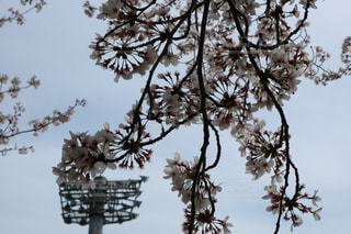 桜と野球場のライトの写真・画像素材[1798837]