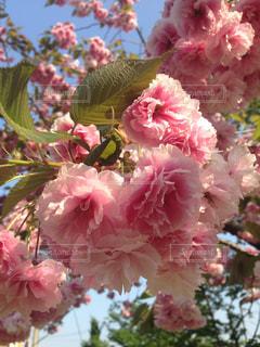 ピンクの花の写真・画像素材[1863141]