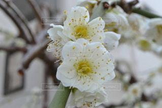 ご近所さん家の枝垂れ梅の写真・画像素材[1829805]