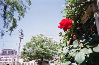 バラと空の写真・画像素材[1853556]