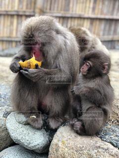 みかんを食べる親、みかんが欲しい子どもの写真・画像素材[1830389]