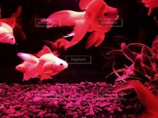 金魚 - No.62397