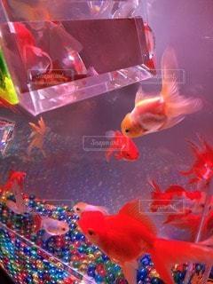 金魚 - No.62409