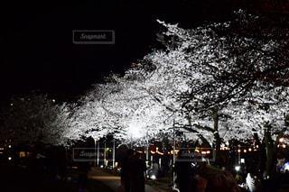 夜の桜の写真・画像素材[2412611]