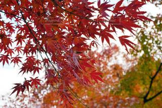 東京 井の頭公園の紅葉の写真・画像素材[2785556]