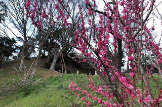 梅の花の写真・画像素材[3097851]