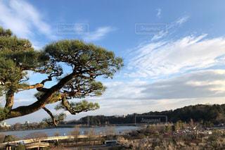 偕楽園の松の木と千波湖の写真・画像素材[3097869]