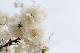 白桜の写真・画像素材[1880168]