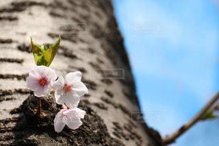 桜のアップの写真・画像素材[1834405]