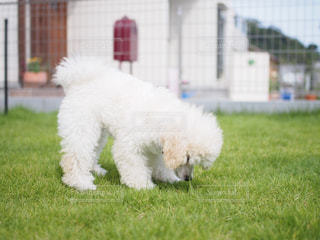 白い犬がフリスビーで遊んでの写真・画像素材[1810719]