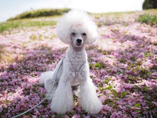 花びらと犬の写真・画像素材[1811984]