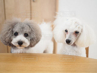木製テーブルの上に小さな白い犬の地位の写真・画像素材[1811985]