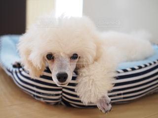 子犬の写真・画像素材[1811986]