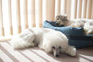 カーテンの前で横になっている犬の写真・画像素材[1813463]