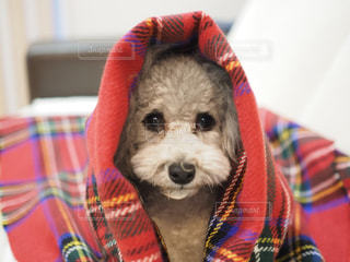 赤いストール犬の写真・画像素材[1821233]
