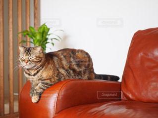 ソファで寝るネコの写真・画像素材[1870780]