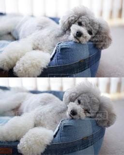 眠いトイプードルの写真・画像素材[2096247]
