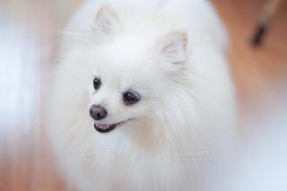カメラを見ている小さな白い犬の写真・画像素材[2380836]