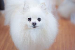 カメラを見ている小さな白い犬の写真・画像素材[2380837]