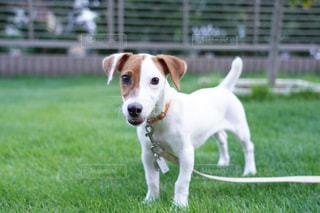 茶色と白の犬の写真・画像素材[2391195]