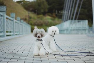 白いフェンスの上に座っている小さな犬の写真・画像素材[2405880]