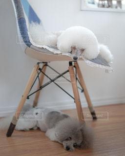 椅子に座っている白い犬の写真・画像素材[2408611]