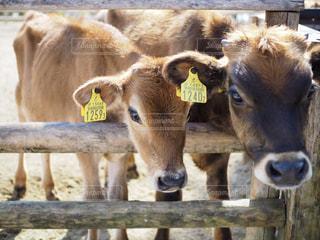ワイヤーフェンスの上に立つ牛の群れの写真・画像素材[2420691]