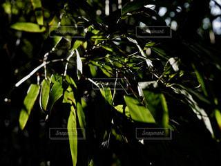 笹の葉の写真・画像素材[1828973]