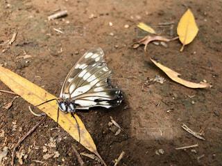 蝶を運ぶ蟻の写真・画像素材[2377763]