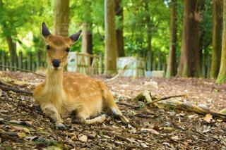 奈良公園の森にいた鹿の写真・画像素材[1806061]