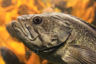 八景島シーパラダイス謎の深海魚の写真・画像素材[1809427]