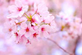 名古屋鶴舞公園の桜アップの写真・画像素材[1809433]