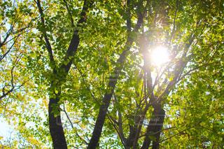 軽井沢の木の写真・画像素材[1809460]