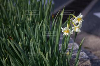 冬の白い花の写真・画像素材[1823327]