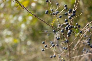 冬の紫の実アントシアニンの写真・画像素材[1823335]