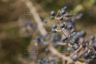 紫の実のアントシアニンの写真・画像素材[1823336]