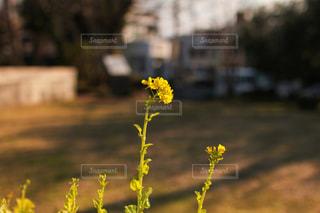 黄色の菜の花の写真・画像素材[1839288]