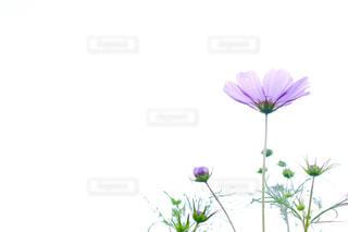 紫色の秋桜と空の写真・画像素材[1858711]