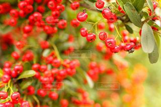 赤い実をつける千両の写真・画像素材[1858714]