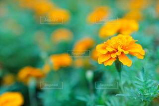 オレンジのマリーゴールドのお花の写真・画像素材[1858735]